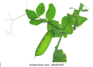 Snow pea, green pea, suger pea (Pisum sativum) plant with unripe pod isolated against white background