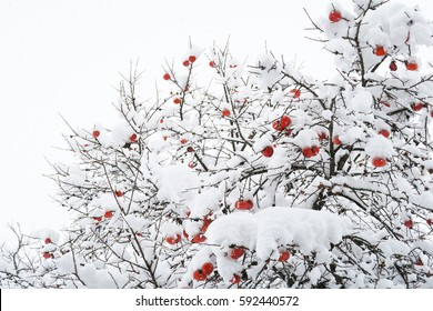 snow and persimmon in Japan