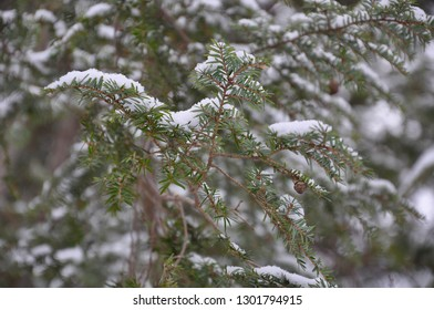 Snow in pine tree leaves backgrounds