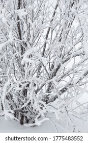 Snow and rime ice on the branches of bushes. Beautiful winter background with twigs covered with hoarfrost. Plants in the park are covered with hoar frost. Cold snowy weather. Cool frosting texture.