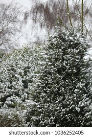 Snow scene, Conifer trees in snow, winter scene