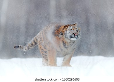 Snow shake of, tiger dust of in winter. Tiger in wild winter nature, running in the snow. Action wildlife scene with dangerous animal. Cold winter in taiga, Russia. Snowflakes with beautiful Siberia.