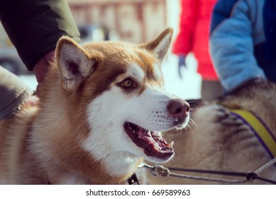 snow sled dog breed husky in harness