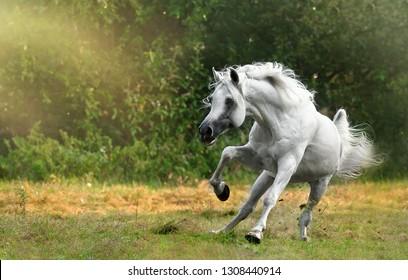 Snow white arabian stallion