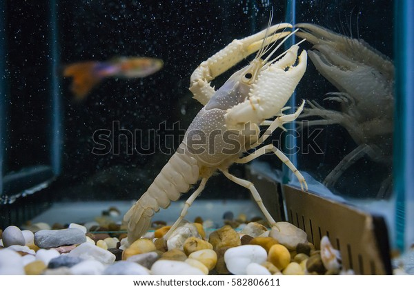 snow white crayfish show its own claws