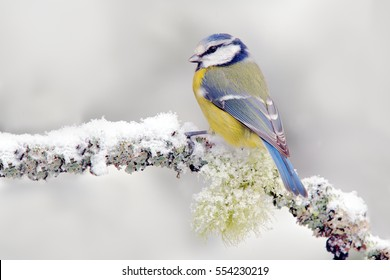 Snow winter with cute songbird. Bird Blue Tit in forest, snowflakes and nice lichen branch. First snow with animal. Wildlife scene from nature.