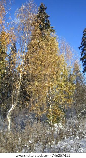 Snow, yellow birch tree and blue sunny sky