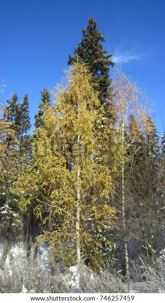 Snow, yellow birch tree and blue sunny sk