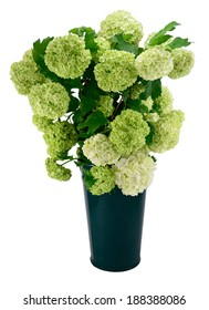 Snowball Viburnum Bush (or Guelder Rose) in green vase isolated on white.