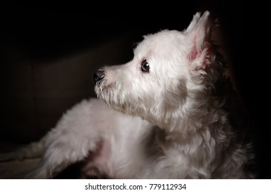 Snowball the west highland white terrier dog (Westies). Home studio shoot with natural light and dark background.