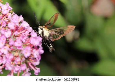 Snowberry Clearwing Hummingbird Moth - Photograph of a Snowberry Clearwing Hummingbird Moth feeding on a pink Butterfly Bush flower with a green background.  Selective focus on the moth.