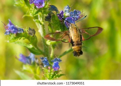Snowberry Clearwing Moth collecting nectar from a Viper's Bugloss flower. Also known as a Hummingbird Moth. Lower Don Parklands, Toronto, Ontario, Canada.