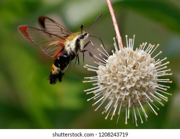Snowberry Clearwing moth (Hemaris diffinis) nectaring on a buttonbush flower - Ontario, Canada