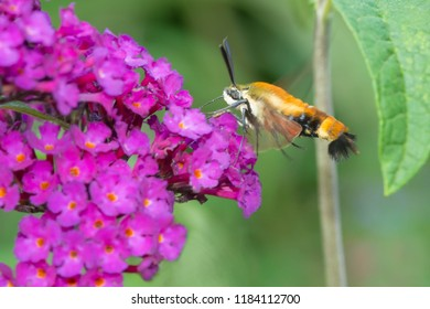A Snowberry Clearwing Moth is hovering by a purple Butterfly Bush collecting nectar. Also known as a Hummingbird Moth. Rosetta McClain Gardens, Toronto, Ontario, Canada.