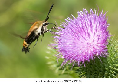 A Snowberry Clearwing Moth is hovering at a purple Bull Thistle flower collecting nectar. It is sometimes called Hummingbird Moth. Taylor Creek Park, Toronto, Ontario, Canada. - Shutterstock ID 2024732468