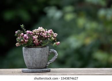 Snowberry Magical Galaxy - Latin name - Symphoricarpos x doorenbosii Magical Sweet