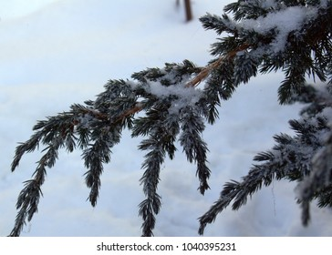 snow-capped Cossack juniper on a white snow background in a frosty day in a winter garden close-up