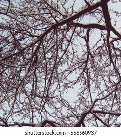 Snow-covered branches
