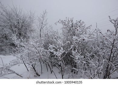 the snow-covered bushes with berries of wild rose
