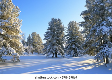 The snow-covered cedars and pine trees in the Siberian taiga