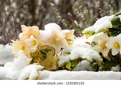 Snow-covered chrismas roses ina garden.. A hedgerow is in the blurry background.