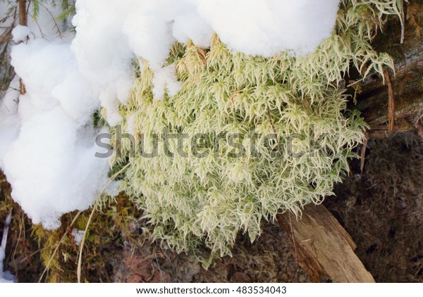 Snow-covered clump of light green moss close.