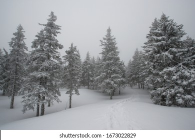 snow-covered, coniferous, white forest, after a night of snowfall and a waving path among fir trees