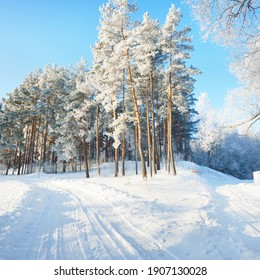 Snow-covered country road through the village. Tall pine trees in hoarfrost, warm sunlight. Clear winter day. Latvia