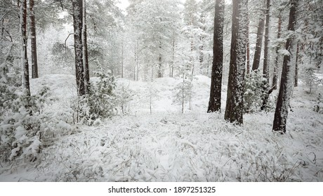 Snow-covered evergreen forest hills. Blizzard. Pine, spruce trees close-up. View from a pathway. Atmospheric landscape. Winter wonderland. Climate change, natural, environmental conservation. Europe - Shutterstock ID 1897251325