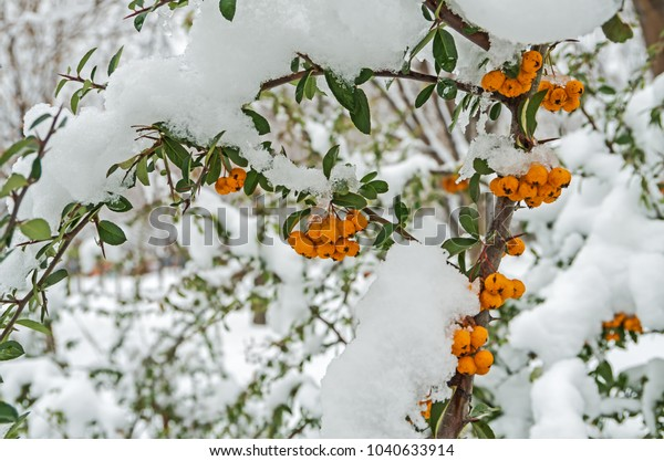 snowcovered-evergreen-shrubbery-pyracant