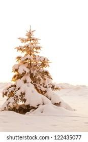 Snow-covered fir tree in golden light