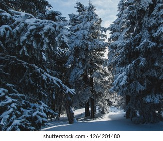 Snow-covered fir trees on a sunny winter day