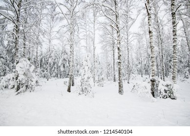 Snow-covered forest, birch trees close-up, Latvia