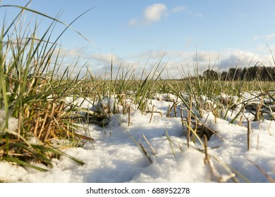 snow-covered green grass in a rural field. Close-up