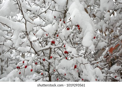 Snow-covered hawthorn Bush with bright red berries on it. Closeup.