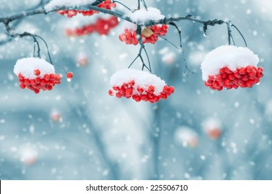 Snow-covered mountain ash