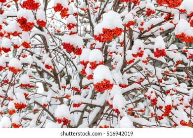 Snow-covered mountain ash in early winter.