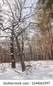 Snow-covered oaks against the background of a pine forest in winter
