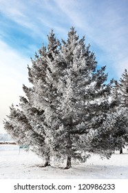 snow-covered pine in park for a card