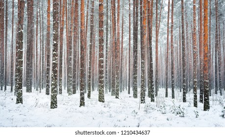 Snowcovered pine tree forest on a sunny winter day in Latvia