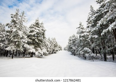 Snow-covered pine tree forest on a sunny day, fir close-up, Latvia