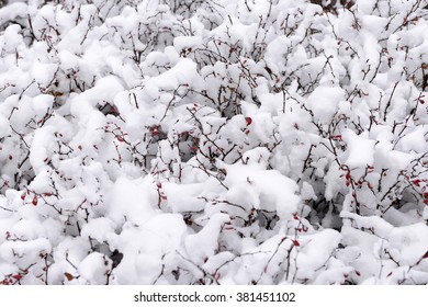 Snow-covered plants, in the snow