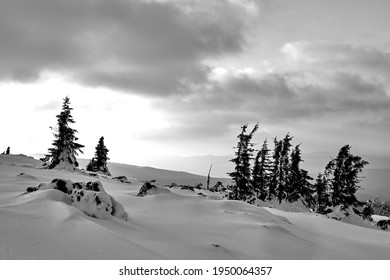 The snow-covered spruces on a mountain slope in the Giant Mountains in Poland, monochrome