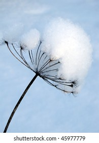 snow-covered stalk of fennel