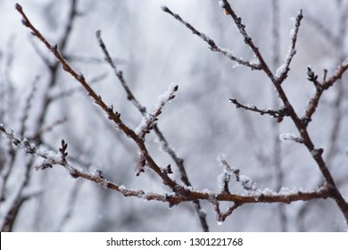 Snow-covered tree branch, close-up, blurred background. Frozen in the ice tree branches. Frozen tree branch in winter.