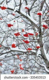 Snow-covered tree with red clusters of a mountain ash