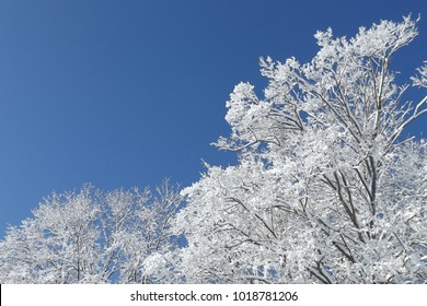 snow-covered trees against the sky