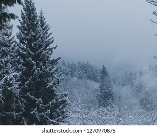 Snow.covered treetops in the fog