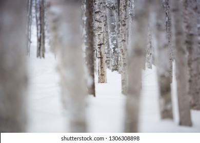a snow-covered winter birch forest