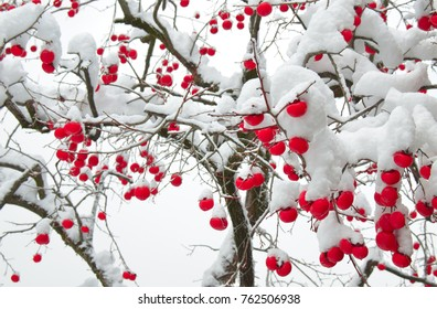 Snow-covered winter persimmons